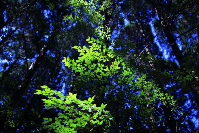 妙見山は、大阪府最北端に位置する能勢町に位置しており、北摂山系に属する標高660メートルの山です。妙見山は比較的標高が低いにも拘わらず、山頂付近にはブナなどの落葉樹が自生しており豊かな森が広がっています。
