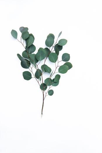 フレッシュな清涼感のある香りが特徴のユーカリ。丸みのある葉と絶妙な色のグリーンは、ニュアンスカラーとして使いやすいアイテムです。日持ちがよくて使いやすいですよ!