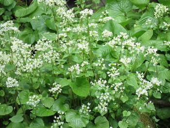 すりおろして食べるのは、わさびの根茎部分。その上に伸びていく葉や花は「葉わさび」「花わさび」と呼ばれ、食べることができます。「花わさび」は花が咲く前のつぼみの状態ですが、葉もつぼみもわさび特有のツンとした辛さがあります。
