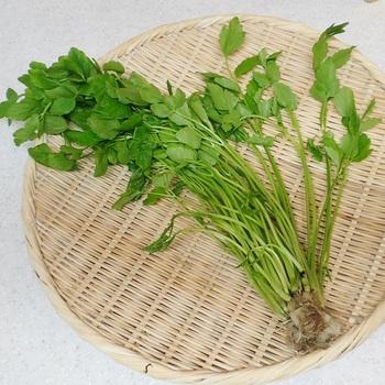 春の七草のひとつでもあるセリ。昔は水田の近くなどに自生しているのがよく見られたようです。旬の時期は2月~4月ごろ。スーパーでも売られているものの「買ったことがない」という人もいるかと思いますが、秋田県ではきりたんぽ鍋には欠かせないおなじみの野菜です。独特の香りはオイゲノールという成分によるもの。シナモンやクローブに含まれるのと同じ成分で、抗菌・殺菌作用とともに、鎮静効果もあると言われています。茎や葉を乾燥させたものは「水芹(すいきん)」と呼ばれる生薬として、食欲増進や解熱に用いられてきました。ビタミンCやミネラル、βカロテンの栄養素が豊富です。