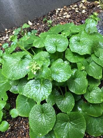 水のきれいな沢で育てる「沢わさび」は難易度が高いですが、畑の土の中で育てる「畑わさび」なら自宅でも育てられそう。温度管理が難しいので、ほどよい温度の場所へ移動できるようにプランターで育てるのがよさそうです。茎部分が食べられるまで育つにはかなり時間がかかるものの、葉わさび、花わさびなら、すぐに収穫できそうです。