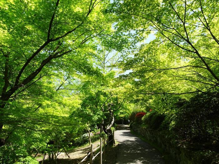 紅葉の名所としても知られる御船山楽園。園内にはもみじが植えられており、なかでも樹齢170年の大もみじが見事。秋の紅葉の時期に注目が集まりますが、初夏の青もみじも見逃せません。広大な園内をゆったりと散策しながら、青もみじの清々しい景色に癒されましょう。