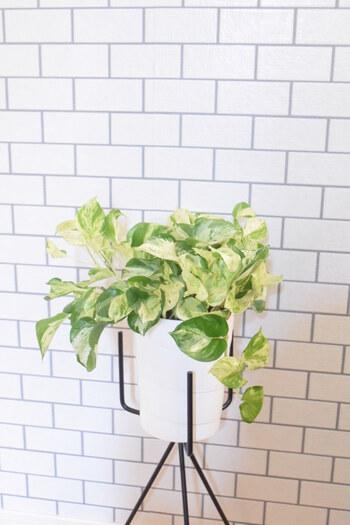 日影でもよく育ち、初心者にもぴったりのポトス。ツル状の植物で垂れ下がっていく姿を楽しめます。水耕栽培でも育つほど生育が旺盛。品種も多く、葉の形や色合い、模様などがそれぞれ異なります。