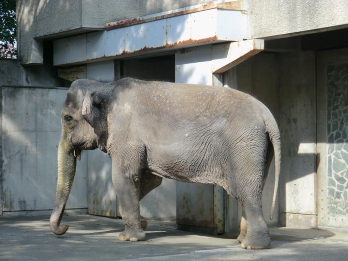 """1954年に井の頭自然文化園にやってきた""""はな子""""。現在68歳で日本で1番飼育期間が長いゾウとして有名です。その愛くるしい姿で長い間多くの人を笑顔にしています。"""