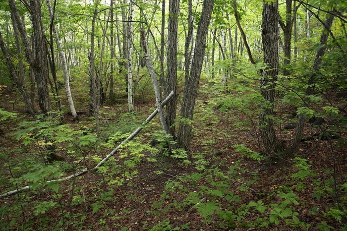 乗鞍高原では、標高約1600メートルの位置に豊かな針葉樹の森が生い茂っています。ここは、古より人々が暮らしていた乗鞍高原の中でも開拓されず手つかずのまま残されていた原生林の森です。