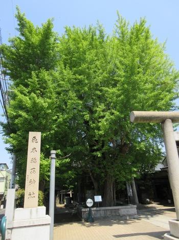 """住宅街にある「飛木稲荷神社」の前に立つと、圧倒されるような大きな銀杏の木が目に入ります。""""墨田区で1番の大木""""とも言われ、暴風雨で銀杏の枝が飛来したのが名前の由来だそうで、樹齢は500年以上です。"""