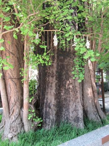 ご神木をよく見ると、黒く焦げたような跡が。東京大空襲の際のものですが、そこから再び枝を茂らせ今でも生き生きと伸びています。自然の力強いパワーを分けてもらえそう。