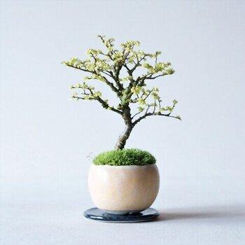 """春から秋にかけて美しい葉を楽しめる「金芽ケヤキ」。春に金色の芽を出すことから""""金芽""""と名付けられました。葉や枝の付き方がきれいで、大樹を小さくしたような佇まいが可愛らしい♪"""