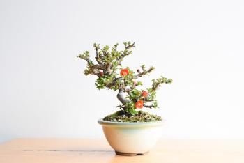 花物盆栽の中でも人気の「長寿梅」。その名前から縁起がいい樹としても知られています。四季咲き性の落葉樹で、1年を通して赤い花を楽しめるのが特徴です。樹勢が強いため、育てやすいのもうれしいポイント。