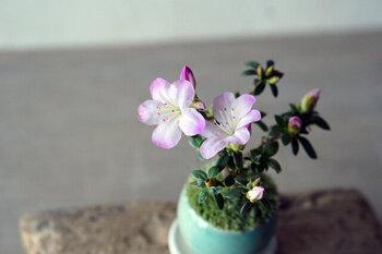 4月~5月に花が咲く「深山キリシマ」。花期が長いので、ロングシーズン楽しめるのがいいですね。花の後には新芽が出て、爽やかな色合いでこれまた美しい!