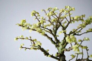 こまめに枝を剪定して作り上げていけるのも魅力のひとつ。盆栽ならではの奥深さを味わえます。