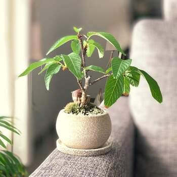 ミニ盆栽は、日当たりと風通しがいい場所がおすすめ。もしお部屋が狭いなど難しい場合は、週に数回だけでも窓辺などで日光浴をさせてあげましょう。