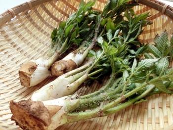 旬の山菜、うどを使ったレシピはいかがでしたか?ほんのりとした苦みとしゃっきりとした食感は、一度食べたらクセになる美味しさがあります。