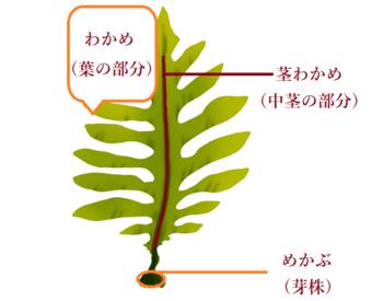 茎わかめとは、茎わかめというワカメの品種があるわけではなく、このように、わかめの中茎(芯)にあたる部分です。  因みにメカブも、メカブという品種ではなく、わかめの株にあたる部分です。