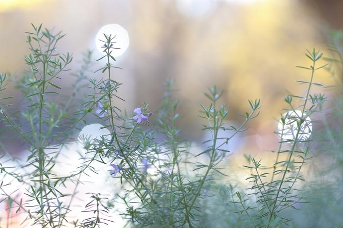 最後は「ローズマリー」。スッキリと落ち着きのあるハーブ系の香りで、「若返りのハーブ」とも呼ばれています。集中力や記憶力アップの他、血液循環を促す作用があり、冷え性の方にもおすすめしたい香りです。