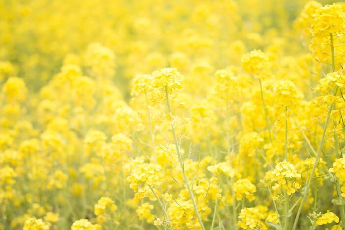 また、想像力を刺激して、アイデアを膨らませてくれるともいわれています。 ただ、心が乱れているときは、黄色にいらだちを感じることもあるようです。