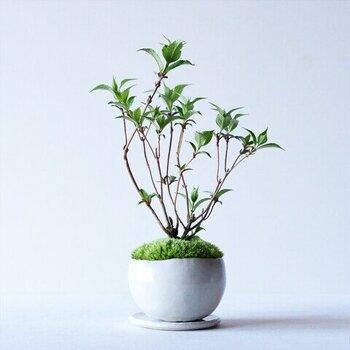 まあるい鉢は、手のひらサイズ。かわいらしい小さな盆栽は、お部屋を圧迫することなく気軽にグリーンのある暮らしを楽しめます。
