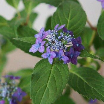 普通の紫陽花に比べて小ぶりなヤマアジサイ「藍姫」は鉢で育て、鑑賞するのに向いています。小さくても、満開に花咲いた姿は見ごたえ十分。お部屋を華やかに彩ります。