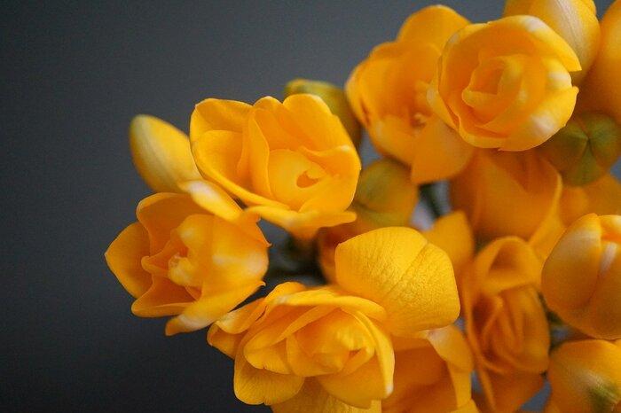 2月の花:フリージア