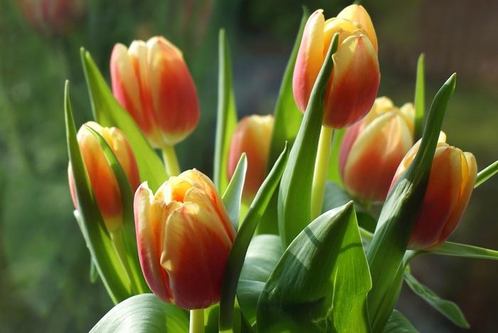 3月の花:チューリップ