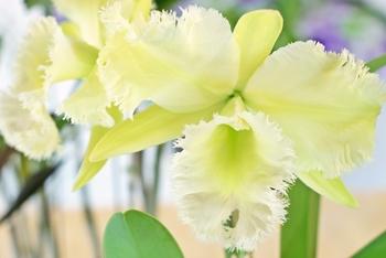12月の花:カトレヤ
