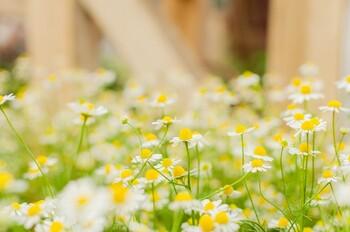 カモミールは、和名を「カミツレ」という、キク科に属する一年草、多年草です。  小菊のような小さくて白い花。そして、りんごに似た優しい甘い香りを持つことが特徴的。カモミールという名は、「大地のりんご」という意味のギリシャ語に由来しているといわれています。