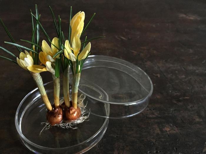 【育て方】球根を紙袋にいれて冷蔵庫に1〜2ヶ月以上入れておきましょう。冷蔵庫から取り出したら、ちいさな器に薄く水を張って球根を置きます。根が出るまでは、暗くて風通しのよい場所で管理しましょう。根が出てきたら、明るい窓際などの場所で芽がでるのを待ちましょう。コンパクトな大きさの球根のため、キッチンなどで育てるのもおすすめです。 【育て方のコツ】水の量が多すぎるとカビの原因になるため、容器に薄く張りましょう。また、1週間に1度程度水を取り替えましょう。