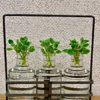 【育て方】アロマティカスは水挿しで栽培することができます。枝の先を2〜3節ほどの長さでカットし、下葉を取ります。そのまま、水の入った容器にいれると、1週間ほどで水栽培用の根が出てきます。水はなるべく毎日取り替えて、日当たりのよい、風通しのよい場所で管理しましょう。 【育て方のコツ】風通しのよい場所を好み、湿気が苦手なアロマティカス。蒸れてしまうと、葉が黄色くなってしまいます。