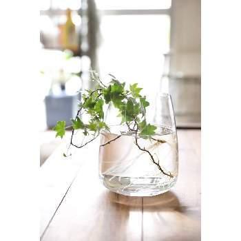 【育て方】アイビーは、つるを水に挿しておくと根が出てきます。10〜15センチほどのつるを切り取り、水を張った容器に入れましょう。水に浸る部分の葉は、取ってくださいね。半日陰で管理すると、2〜4週間ほどで根が生えてきます。しっかり根が伸びてきたら、日当たりのよい涼しい場所で管理しましょう。 【育て方のコツ】水の入れ替えは、すこしでも水が濁っていたら行いましょう。夏の暑い時期は、根腐れしやすいので毎日水を入れ替えてくださいね。