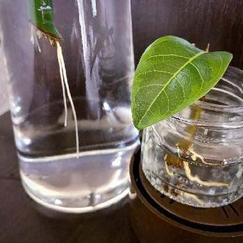 水栽培したいハーブや観葉植物の茎や枝を切り取り、水の入った容器にいれます。水栽培用の根が伸びてきたら、ハイドロボールなどを入れた容器に植え替えます。