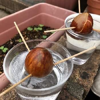 【育て方のコツ】アボカドの種は乾燥に弱いため、すぐに水栽培をはじめない場合は、水に浸けておきましょう。冷蔵庫には入れないでください。日当たりのよい、あたたかい場所で育てると元気に育ちますよ。アボカドは、種にたくさんの栄養を蓄えているため、半年くらいは水だけでも成長を続けます。