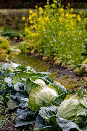 旬の野菜や果物は、暑い、寒いなど四季の巡りに合わせて成長したものです。その後、最適な時期に収穫された食材は、みずみずしく生命力に溢れ、栄養価が高いのが特徴です。  たとえば、春キャベツは他の季節に比べてビタミンCやビタミンK、食物繊維などがたくさん含まれています。つまり、ほかの季節に食べるよりも、旬の時期の方がより効率的に栄養素を摂ることができるのです。
