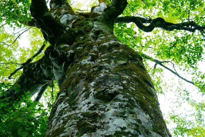 """""""自然豊かな""""という形容を、つい頻繁に使ってしまいますが、「北東北」の自然の""""豊かさ""""は、桁違いです。世界遺産「白神山地」の原生林が象徴するように、他の追随を許さない程に、質も規模も極めてハイレベル。  【「白神山地」緩衝地域に立つ、日本で一番有名なブナの木""""マザーツリー""""。2018年の台風21号の暴風により、根本から9m程の高さで幹が折れたが、枯れることなく現在も葉を茂らせている。ブナの寿命は300年前後と云われているが、母なる大樹は、樹齢400年を数え、今もその生命を繋いでいる。(画像は、2010年撮影)】"""