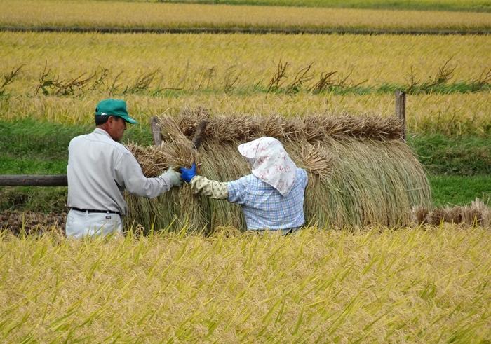 """""""穀物""""は、噛む程に特有の甘味、旨味、香りが広がります。咀嚼することによって、香りはより膨らみ、唾液中の酵素と混ざることで甘味や旨味が生じます。古来日本人は、そうした穀物の風味を大切にしてきました。  【10月初旬の遠野市内稲架掛け仕事。北上高地にある遠野市は、夏冬の寒暖差が大きい盆地気候で、特に冬の寒さが厳しく、豪雪地帯でもある。市内の大部分を山林や原野が占めており、農業は稲作が中心だが、野菜、果樹、花卉、畜産も行われている。】"""