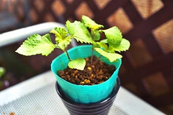 ある程度の大きさに育っている「シソの苗」なら、初心者さんでも失敗なくシソを大きく育てることができます。ホームセンターや花屋などに並び、6月くらいまでなら見かけることができるでしょう。  鉢に植えるなら、7号~10号の鉢に1苗くらいの割合がおすすめです。風通しのよいところを好む植物なので、地植えなら、15~20cmほどの間隔をあけて植えるようにしましょう。