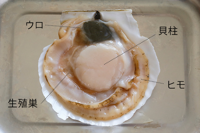 殻付き生ホタテを開くと、このようになります。「貝柱」「ヒモ(外套膜)」「生殖巣(ほたて卵)」は食べることができます。「ウロ(中腸腺)」は食べられません。必ず取り外してください。  ヒラヒラしている「ヒモ」は、コリコリしていて、お酒のおつまみで人気ですね。