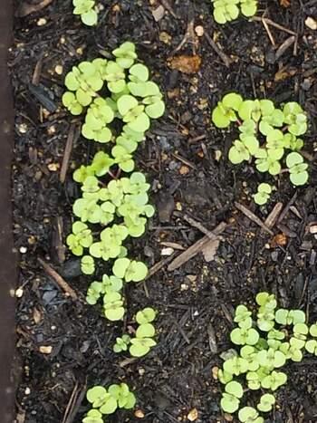 丈夫でしっかりとしたシソを育てるために、間引き作業が必要です。本葉が出始めたら、成長の遅いもの、葉のかたちが良くないものは思い切って抜きます。ただ、元気な芽を傷つけないように、ピンセットを使うなどして丁寧にゆっくりと作業しましょう。