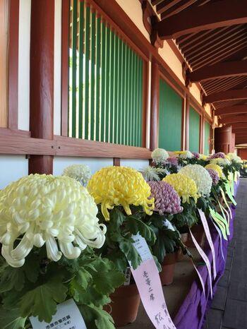 古来中国では、陽数の一番大きい数である「9」が重なる9月9日を「重陽(ちょうよう)」と呼び、大変めでたい日とされました。旧暦の9月9日(現在の10月中旬頃)は、菊が美しく咲く時期であり、優れた薬効をもつ植物として古くから知られていたため、菊を用いたと言われています。 日本では、平安時代の初めに宮中行事の1つとなり、菊を眺める宴「観菊の宴」が開催されたり、菊を用いた厄払いなどが行われたりしました。時代とともに菊の風習は庶民の間でも広がり、現代でもこの時期に菊を愛でる菊花展や菊人形展が各地で開催され、多くの人々に親しまれています。