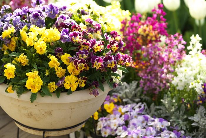 冬から春にかけて愛らしい花をたくさん咲かせるパンジー。花言葉は「もの思い」「私を思って」など、一途な片思いを表すような言葉です。また、黄色は「つつましい幸せ」「田舎の喜び」、紫は「思慮深い」、白は「温順」、アプリコットは「天真爛漫」と、どの色の花言葉もポジティブ。ボリュームのある寄せ植えなら、愛の告白はもちろん感謝やお祝いにも合いますね。