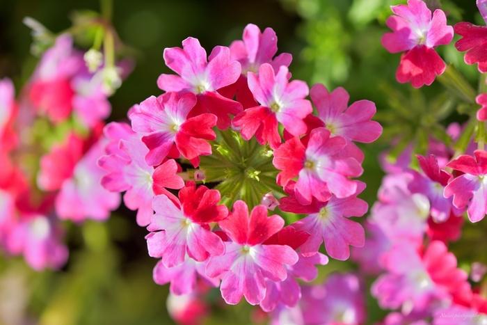小さな花が丸く集まって咲く様子が可憐なバーベナ。古来は霊力を高める媚薬として使われていたことから、「魔力」「魅力」という花言葉が付けられています。また、ピンクは「家族の和合」、赤は「団結」という花言葉を持っています。大好きな家族や、同じチームで仕事をする仲間など、絆を感じられる相手に贈るのもいいですね。