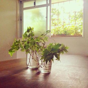 窓の外に生い茂るへデラ。太陽の光に反射する緑色がとてもきれい。グリーンカーテンは日差しを遮ってくれるだけではなく、熱が建物に蓄積するのを防ぎ、さらには植物の水分が水蒸気になることで、涼しい空気を取り入れられるというから、すばらしい。エコで快適で、そして癒し効果もあるグリーンカーテン。あなたのお家にも取り入れてみませんか?