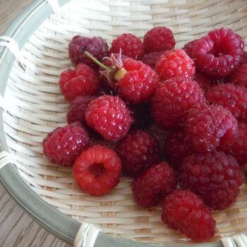 一季なり性のラズベリーなら、収穫は6~7月。二季なり性なら秋にも収穫ができます。
