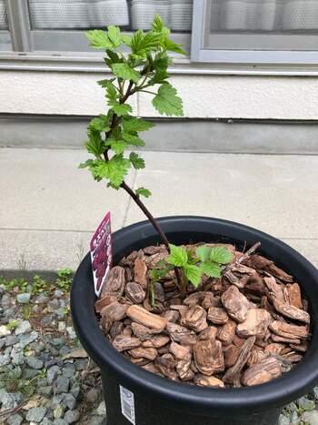 ラズベリーの鉢植えの土は、水はけのいいものがおすすめ。ベリー用の培養土も販売されています。植え付けは、厳寒期を避けた3月頃が適期。ちなみに肥料は年に3回で、株元から離して円状に置くといいようです。