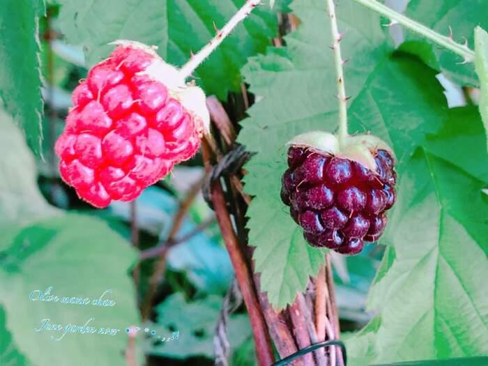 ラズベリーの種類は、実の色によって赤ラズベリー・黒ラズベリー・紫ラズベリーの3種があり、日本では赤と黒が多いようです。最近は、黄色果実の品種もあるとか。苗は園芸店などのほか、通販でも買えます。
