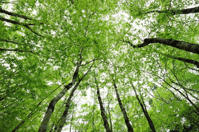 芦生の森を散策しながら、時々空を見上げてみましょう。天を覆うほど豊かに生い茂った葉の間から射し込む木漏れ日は心地よく、不思議と心身ともに美しく浄化されていくような錯覚を感じます。