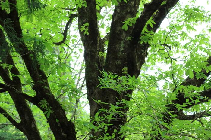 芦生の森は、京都大学が芦生研究林として管理している原生林で、京都府の北東部である由良川の源流に位置する約4200ヘクタールに及ぶ広大な森です。数多くの野生動物が生息している芦生の森に入林するときは、「一般入林申請」が必要となります。尚、入林申請は当日申請も可能です。