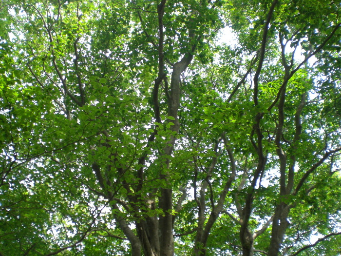 大江山の山腹には豊かなブナの原生林が広がっており、初夏から盛夏にかけては恰好の森林浴スポットとなります。