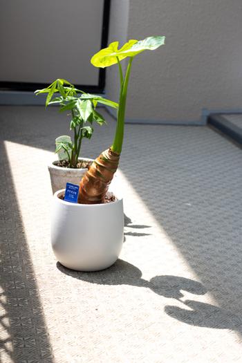 植物が成長したり元気な状態をキープするには、お水と日光が欠かせません。特にお部屋の中の観葉植物は日光が不足しがち。窓際に置いてあげるのはもちろん、時間に余裕がある休日などには、数時間だけでも良いのでお外に出してあげると効果的です。