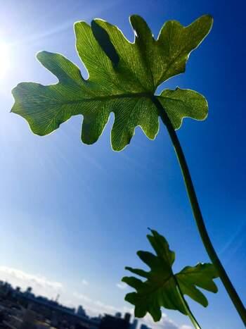 お外の植物や、窓際で直射日光を長い時間浴びる場合には、葉焼けに注意が必要です。葉っぱに水滴が残っていると、その部分に太陽が集まって葉っぱが焼けてしまうことも。あまり陽射しが強そうな日は、葉水の後しばらくは直射日光が当たらない場所へ移動してあげると安心ですね。屋外の場合は、夕方に葉水しても◎。