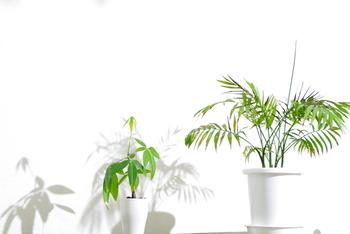 葉水はどんな植物にも効果があることが多いですが、熱帯地方原産の植物は空中湿度を好むので、葉水をすることで元気な状態をキープしてくれます。代表的なもので言えば、エバーフレッシュ、テーブルヤシ、アイビー、ガジュマルなどは葉水が好き♡逆に極度な乾燥を嫌うので注意しましょう。